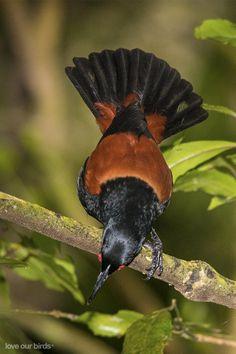 http://www.nzbirdsonline.org.nz/sites/all/files/1200528NISaddlebackCourtship1200x800_0.jpg