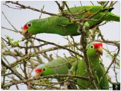 Red-lored parrot - Biofaces - Bring Nature Closer
