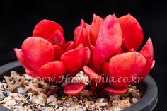 Succulent Echeveria multicaulis Lipstick  cactus agave caudex haworthia