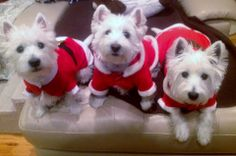 .OMG!!! THIS could be MY three last year!!! I got THREE Westie Babies as my CHRISTmas gift from my family! My FDIL had them all dressed up in Santa & Elf Suits!! They looked SO much LIKE this, it's incredible! 8-)