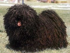 6 Dog Breeds with Dreadlocks and How That Even Works Dreadlocks, Pumi Dog, Hungarian Puli, Mop Dog, Komondor, Cat Allergies, Pet Style, Dog List, French Bulldogs