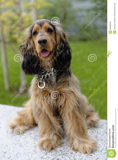 English Cocker Spaniel - Black sable. My puppy looks exactly like this, he's just totally gorgeous!!