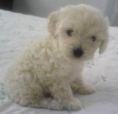 Toy Poodle   El Caniche es el perro de compañía por excelencia. Es amistoso y ...