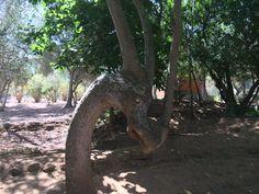 Dragon tree:)