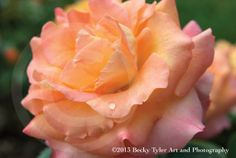Peach and Pink Roses Fine Art  Photo Print Set by BeckyTylerArt, $40.00