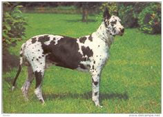 Great Dane  Grand Danois  Dogge  Dogue  Allemand   Hunde, Cane  Old Dog Postcard. cpa.