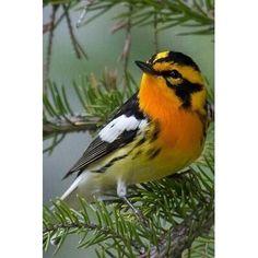 New England Backyard Birds . New England Backyard Birds . Small Birds, Colorful Birds, Little Birds, Tropical Birds, Beautiful Creatures, Animals Beautiful, Cute Animals, Beautiful Beautiful, Beautiful Pictures