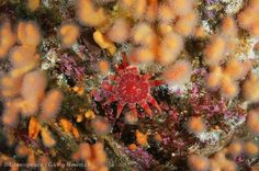 Common Sunstar Starfish (Crossaster paposus ) and Dead Mens Fingers soft coral (Alcyonium palmatum ) in the North Sea. Photographer: Greenpeace / Gavin Newman