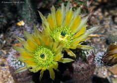 Echinocereus daysacanthus, cultivated