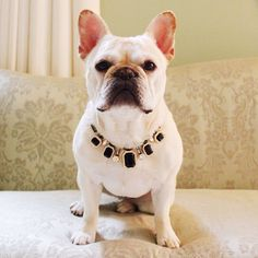 Frenchie Bulldog - Blog - Franny the Frenchie – FRENCHIE BULLDOG