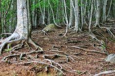 ¿A cuántos metros bajan las raíces de los árboles? - http://www.jardineriaon.com/a-cuantos-metros-bajan-las-raices-de-los-arboles.html #plantas