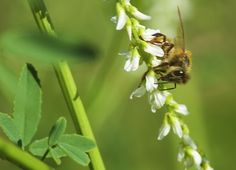 A honey bee on sweet clover