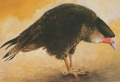 The guadalupe caracara was a bird of prey that lived somewhere in Mexico. It would hunt goats and as a result, angry farmers began hunting them. This sort of hunting was one of the factors that led to this bird becoming extinct.