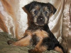 But Victorian and Tasmanian breeders also laid claim as the originators in the breed, so the official name, Australian Silky Terrier, was sooner or later adopted in 1956.