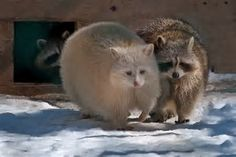 Image result for albino raccoon