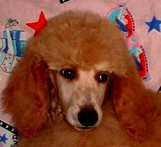 Qui Sommes Nous Dogs, Animals, Poodles, Animales, Animaux, Pet Dogs, Doggies, Animal, Animais