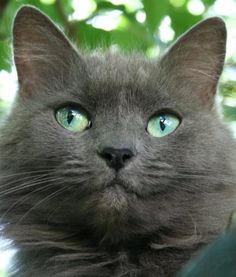 Russian Blue Cat Facts