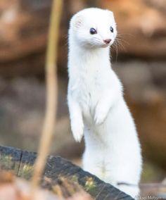 Least weasel by Aleksei Malygin / Cute Kawaii Animals, Super Cute Animals, Cute Little Animals, Nocturnal Animals, Animals And Pets, Wiesel Tier, Beautiful Creatures, Animals Beautiful, Cute Ferrets