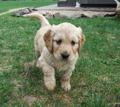 golden cocker retriever puppie