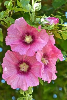 """Rose trémière ~ """"Hollyhocks"""" were used to make dolls, when I was a little girl."""