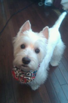 And this is when I discovered the pushover in me. How can you say no to a westie's puppy face?