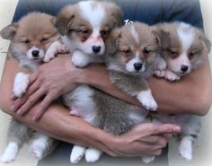 Corgi armful........perfect