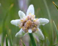 Edelweiss flower close-up Royalty Free Stock Image