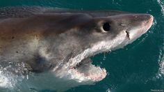 Tubarão - Foto: Fornecido por BBC