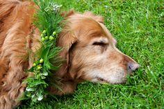 Golden dog flower crown ❀Flowers in their coats❀