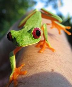 Amazon Red Eyed Tree Frog~