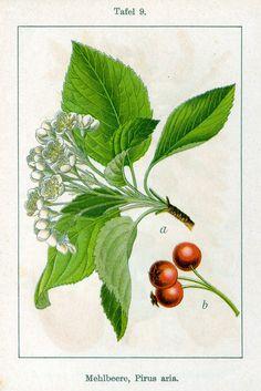 Deutschlands Flora in Abbildungen (1796)