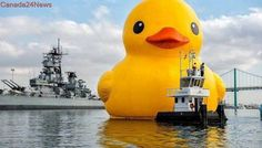 Toronto's giant rubber duck generated millions of dollars, festival says