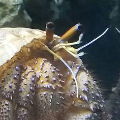A hermit crab @brookfieldzoo  #hermitcrab #decapodcrustacean  #brookfieldzoo #volunteer #conservation #docentapprentice #cool