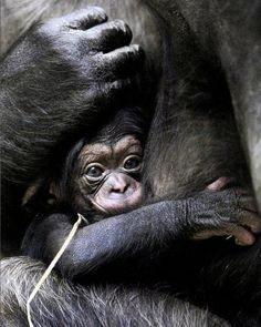 . #animallovers #gorilla #gorillafans #animals