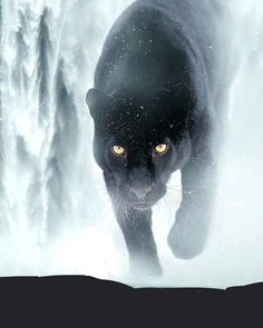 In Winter a Black Panther Prowls. My Spirit Animal, My Animal, Beautiful Cats, Animals Beautiful, Wild Animal Wallpaper, Animals And Pets, Cute Animals, Carnival Of The Animals, Lion Art