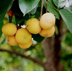 Santol by Roy G.V., via Flickr