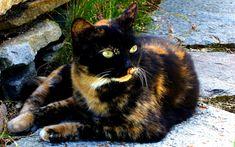 Tortoise shell Calico, posted by teddybear64, via fanpop.com