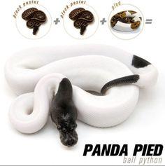 panda pied ball python