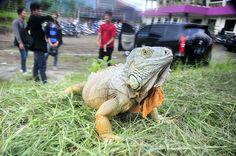 iguana el salvador