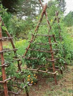 Pyramid shaped tomato trellises made of branches.