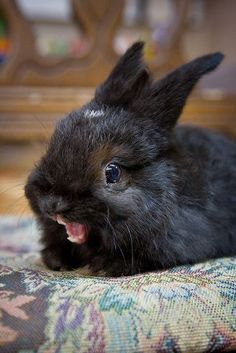 Black rabbit with mouth open