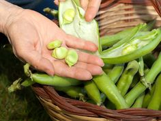 Early broad beans were black- seeded, but pale-seeded forms were with us by Roman times and beans were used in Roman elections. A black seed meant no, a pale one yes. - See more at: http://www.saga.co.uk/magazine/home-garden/gardening/fruit-and-veg/how-to-grow-broad-beans.aspx#sthash.Km0MIgcP.dpuf