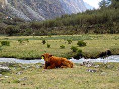 My fav calf, Peru Backpacking Peru, Lake Titicaca, Machu Picchu, Brown Bear, Coast, Animals, Animales, Animaux, Animal