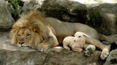 the lion lays down with the lamb...a wonderful time (coming again) r