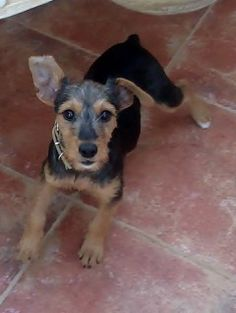 Poppy – 8 month old female Terrier Cross dog for adoption