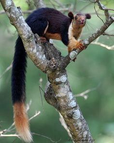 The Indian Giant Squirrel, also called the Malabar giant squirrel, is the largest tree squirrel on earth. It is about sixteen inches long, and it's tail can be two feet long. It weighs around 4.4 pounds. This is one of the world's most beautiful squirrels, and can have different colors in different areas of India.