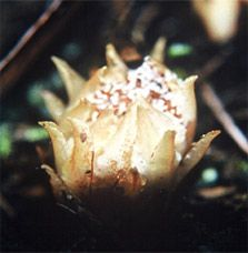 Dactylanthus is New Zealand's only indigenous fully parasitic flowering plant. Native Plants, New Zealand, Planting Flowers, Flora, Vegetables, Ethnic Recipes, Plants, Vegetable Recipes, Veggies
