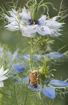 Pollinating bee.Love-in-a-mist flowers
