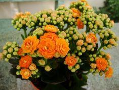 A korallvirág virágoztatása nem túl bonyolult, egy-két apró trükkel akár egész évben virágzó dísze lehet a lakásunknak. Olvasóink segítségével most felfedjük a titkot, amivel bárki is dúsan virágzó és csodálatos növényt nevelhet. Korallvirág gondozása... The post Korallvirág virágoztatása – olvasó praktikák appeared first on Balkonada. Kalanchoe Blossfeldiana, Shade Flowers, Summer Flowers, Fire Lily, Cactus Illustration, Comment Planter, Tulip Bulbs, Colorful Succulents, Primroses