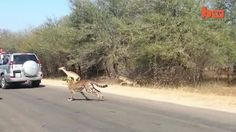 crossing the road in Africa, Africa - - http://www.sportsoutdoor.org/hunting-game/crossing-the-road-in-africa/